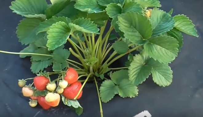 Как выращивать клубнику Сенсация
