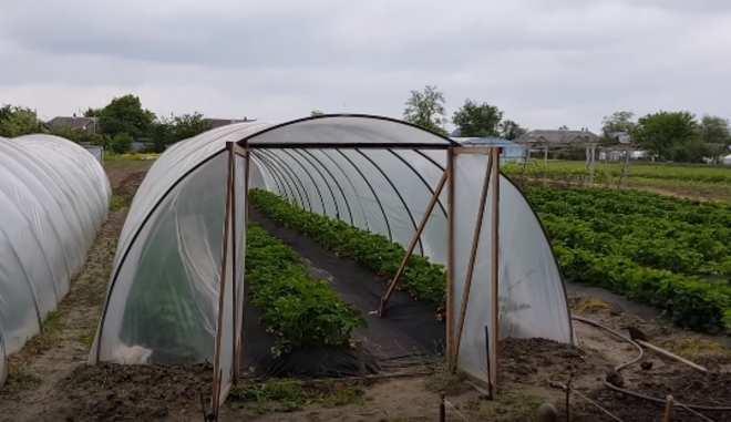 Выращивание клубники Клери