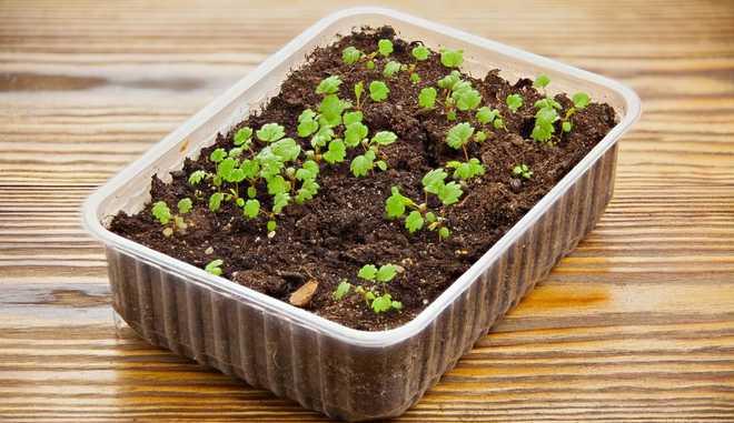 Выращивание земляники Лесная сказка
