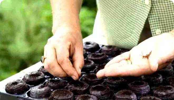 Проращивание семян клубники